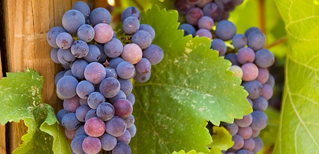 Vineyard Grapes