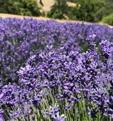 English Lavender Farm